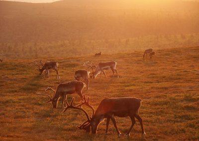 Saariselka-ski-resort-summer-reindeers